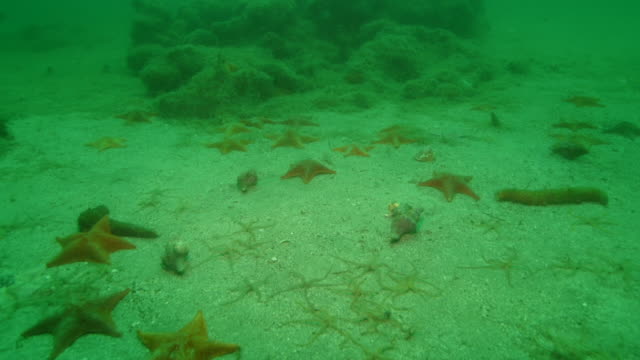Starfish, brittle stars, sea cucumbers and mollusks crawl across the seabed. Available in HD.