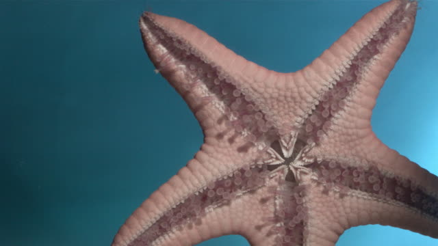 CU SLO MO Starfish crawling underwater / Los Angeles, California, USA