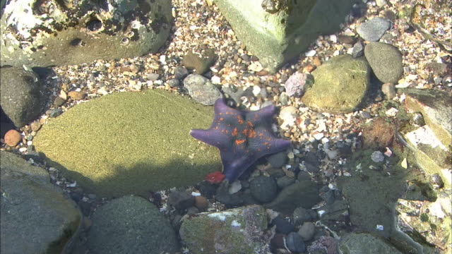 Starfish In Shallow Water