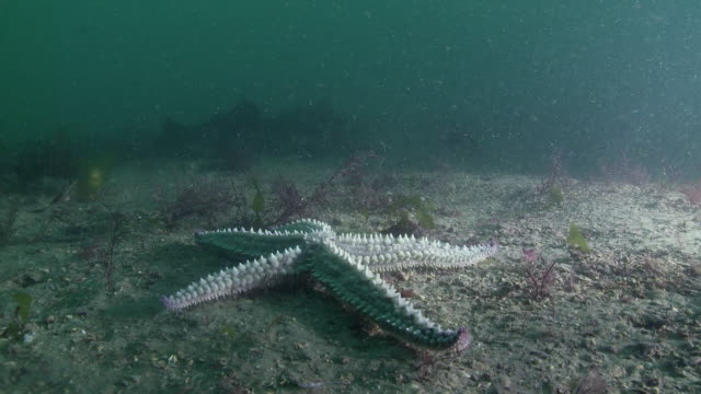 Starfish moving over seabed