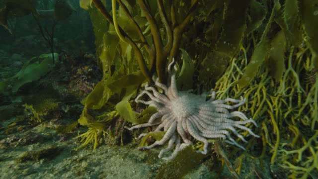 starfish on sea bed in kelp forest, falkland islands - living organism stock videos & royalty-free footage