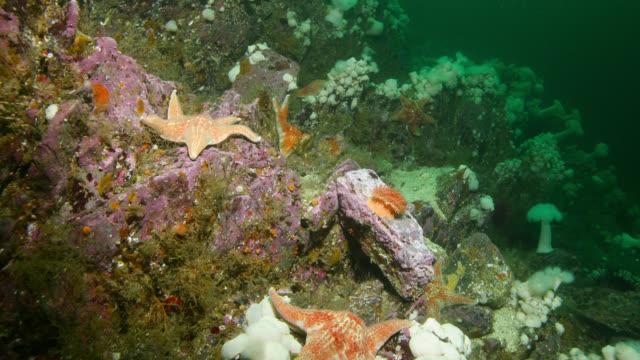 "tl starfish on sea floor, canada - ""bbc natural history"" stock videos & royalty-free footage"