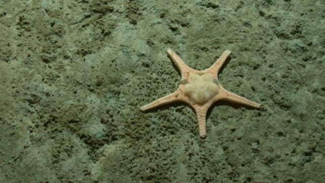 vídeos de stock, filmes e b-roll de a starfish rests on a barren seabed. available in hd. - estrela do mar