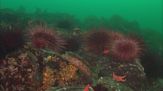 Starfish, sea urchins and sea cucumber cling to rocks, Vancouver Island, BC, Canada