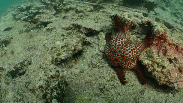 Seestern undersea, Galapagos