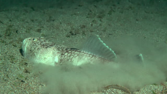 stargazer fish in disguise under water in philippines - batangas province stock videos and b-roll footage