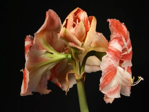 cu t/l stargazer lilies rotating  - stargazer lily stock videos & royalty-free footage