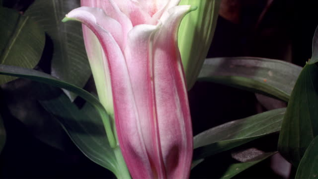 cu t/l zi stargazer lily blooming  / studio city, california, usa - stargazer lily stock videos & royalty-free footage
