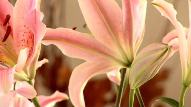 vídeos de stock, filmes e b-roll de stargazer lily - lilium stargazer