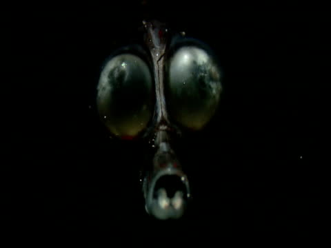 vídeos de stock e filmes b-roll de staring eyes of stylephorus fade in and out of black ocean - fade in