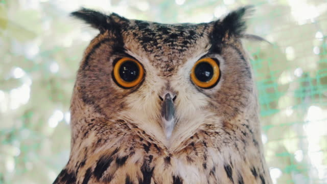 vídeos de stock e filmes b-roll de staring horned owl close-up - olho de animal