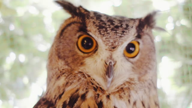 staring horned owl close-up - one animal stock videos & royalty-free footage