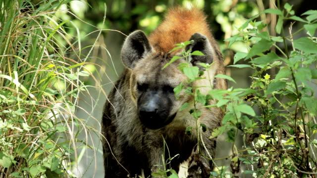 Staring Hyena