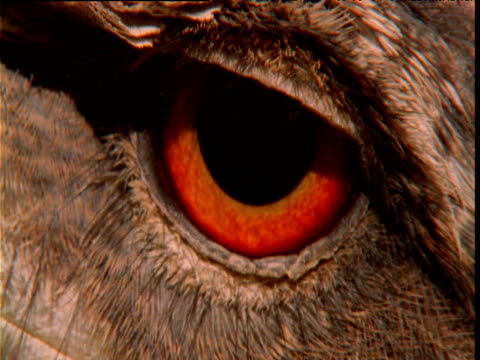 vídeos de stock, filmes e b-roll de staring red eye of papuan frogmouth, queensland - olho de animal