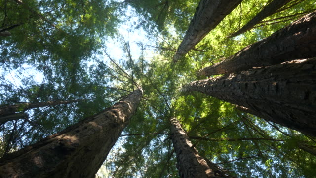 staring up to tall redwood tree leaves - sequoia stock videos & royalty-free footage
