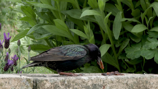 Starling collecting food from the top of a wall