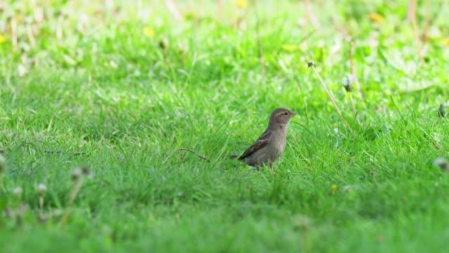 stockvideo's en b-roll-footage met starling feeding on the lawn - lichaamsdeel van dieren