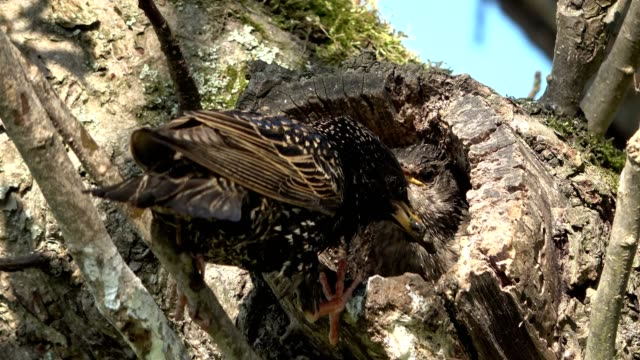 starling feeds young bird, apple tree nest hole - young animal video stock e b–roll