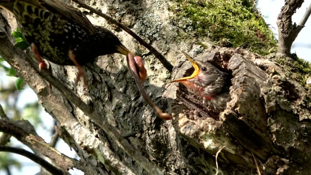 starling feeds young bird with earthworm, learning to eat, lumbricidae - bird's nest stock videos & royalty-free footage