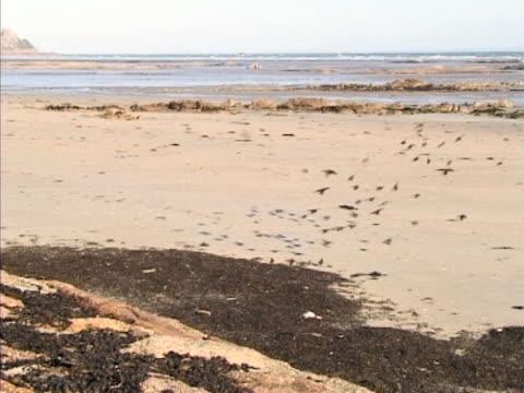 vidéos et rushes de starling flock feeding around high tide line - groupe moyen d'animaux
