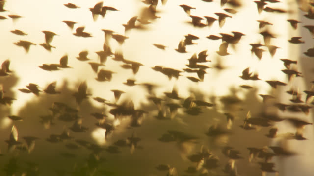 starling (sturnus vulgaris) flock flies over reed bed at sunset, anglesey, wales - flock of birds stock videos & royalty-free footage