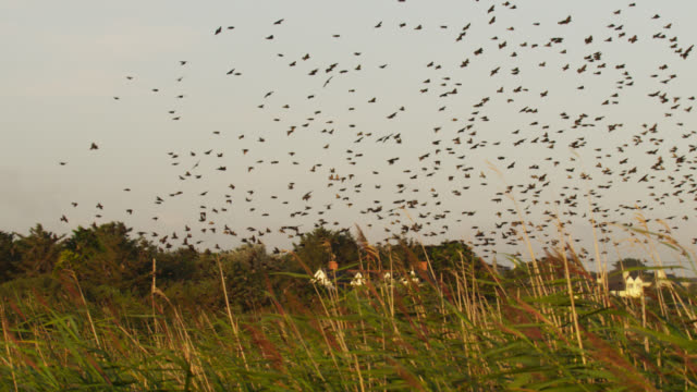 Starling (Sturnus vulgaris) flock roosts in reed bed at sunset, Anglesey, Wales