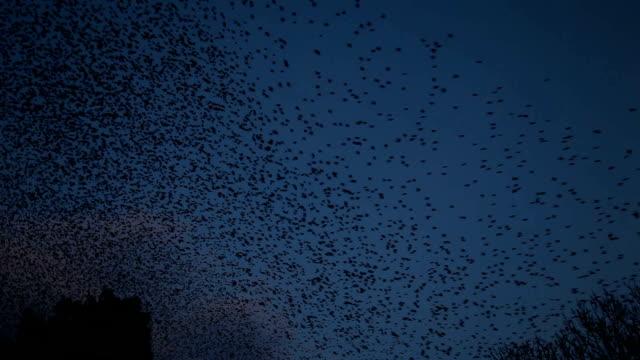 starling flocks
