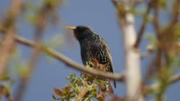 Starling on a walnut tree branch in early spring