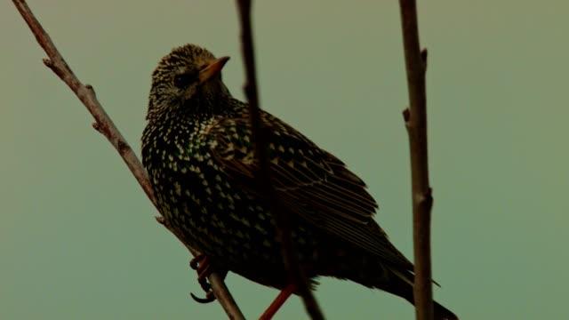Starling on branch in winter
