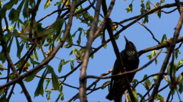 Starling up a tree