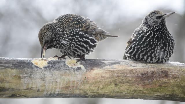 Starlings eating energetically