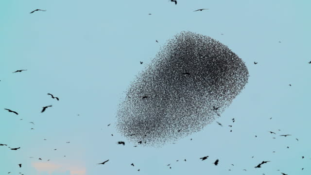 Starlings flight