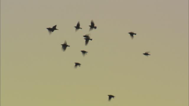 Starlings (Sturnus vulgaris) fly at dusk, Conwy, Wales, UK