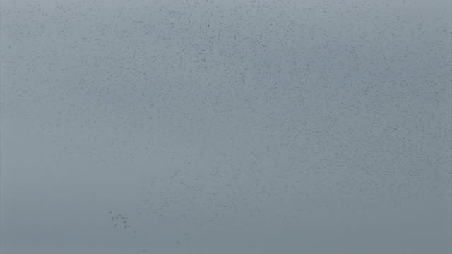 stockvideo's en b-roll-footage met starlings flying at slebech in pembrokeshire, wales - pembrokeshire
