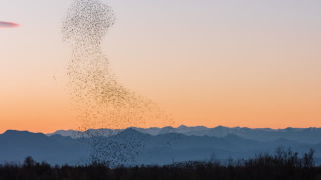 stockvideo's en b-roll-footage met starlings flying at sunset - grote groep dieren