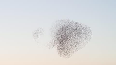starlings flying at sunset - bird stock-videos und b-roll-filmmaterial