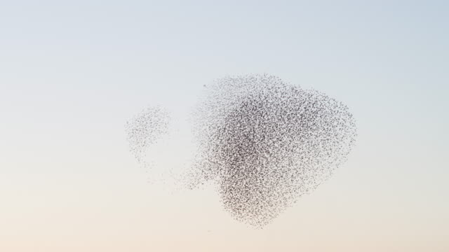 Starlings flying at sunset