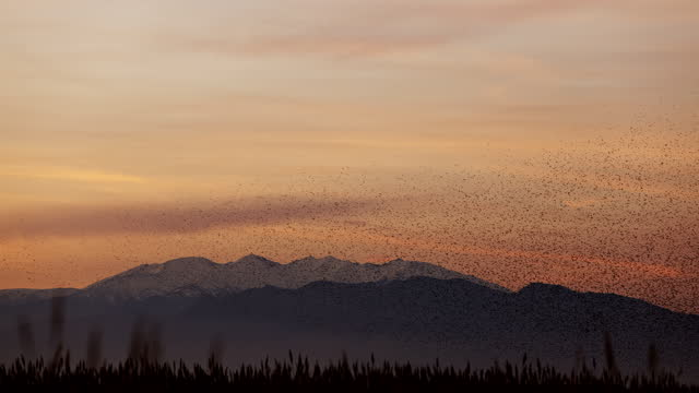 starlings flying in front canigou mountains at dusk - starling stock videos & royalty-free footage