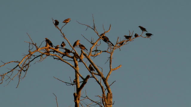 Starlings flying off tree together/ Kruger National Park/ South Africa