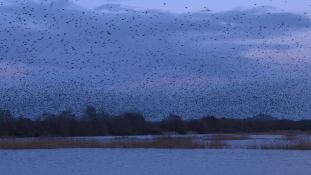 starlings murmuration at decoy hide - somerset levels stock videos and b-roll footage