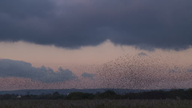 starlings murmuration - large group of animals stock videos & royalty-free footage