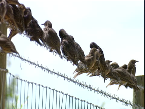 Starlings sit preening on barbed wire