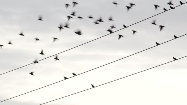 starlings, sturnus vulgaris, sit on power line - cable video stock e b–roll