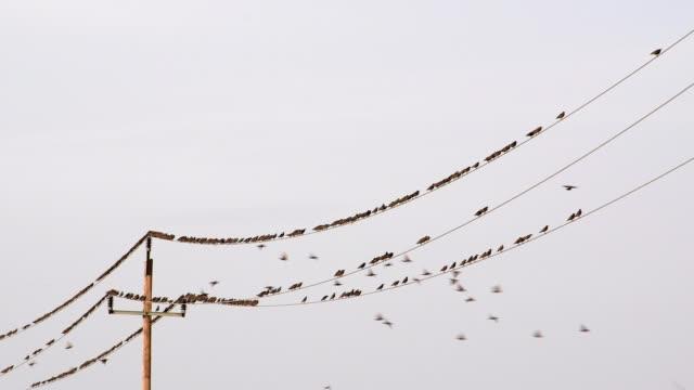 vidéos et rushes de starlings, sturnus vulgaris, sit on power line - etourneaux