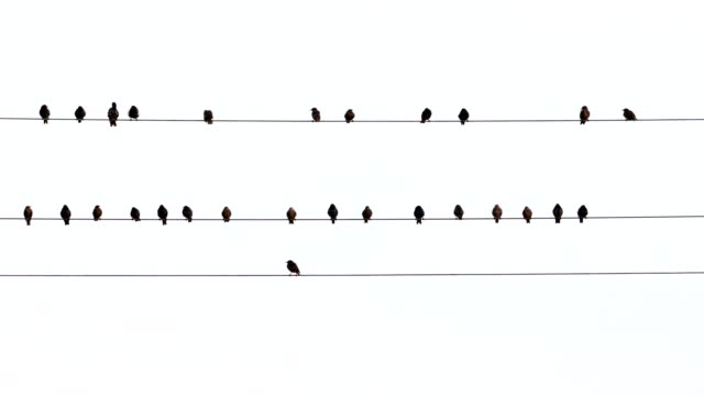 vidéos et rushes de starlings, sturnus vulgaris, sit on power line - câble