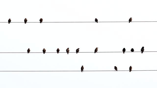 vídeos de stock e filmes b-roll de starlings, sturnus vulgaris, sit on power line - cabo