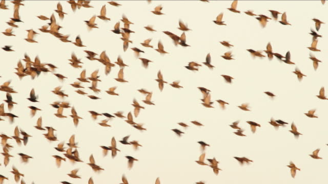 starlings - animal migration stock videos & royalty-free footage