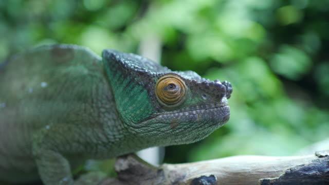 vidéos et rushes de mettant en vedette dans l'œil du caméléon - reptile