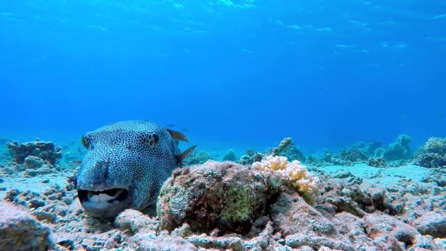 sternenhimmel kugelfisch am meeresboden - rotes meer / ägypten - unterer teil stock-videos und b-roll-filmmaterial