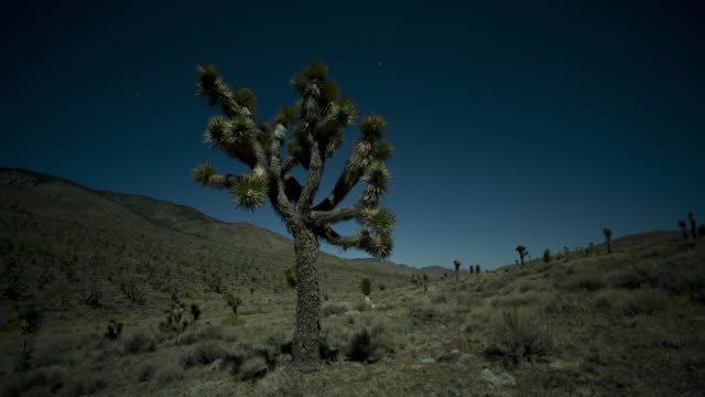stars glow above a joshua tree in death valley. - josuabaum stock-videos und b-roll-filmmaterial